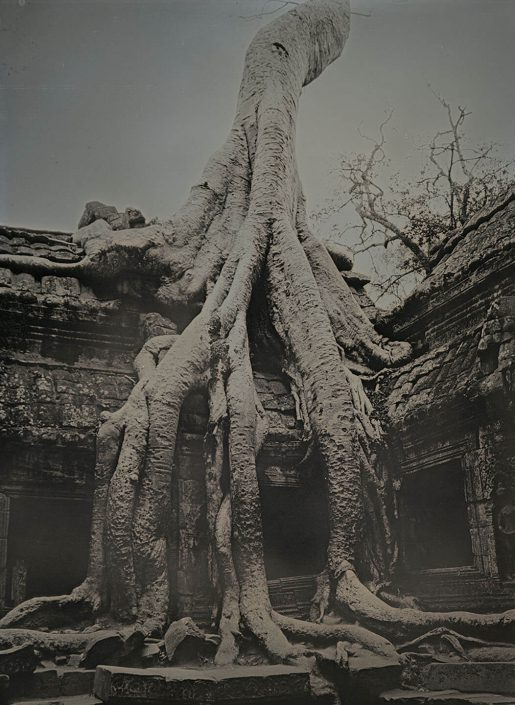 Spung tree at Ta Prohm, Angkor Wat Temple, Camboida
