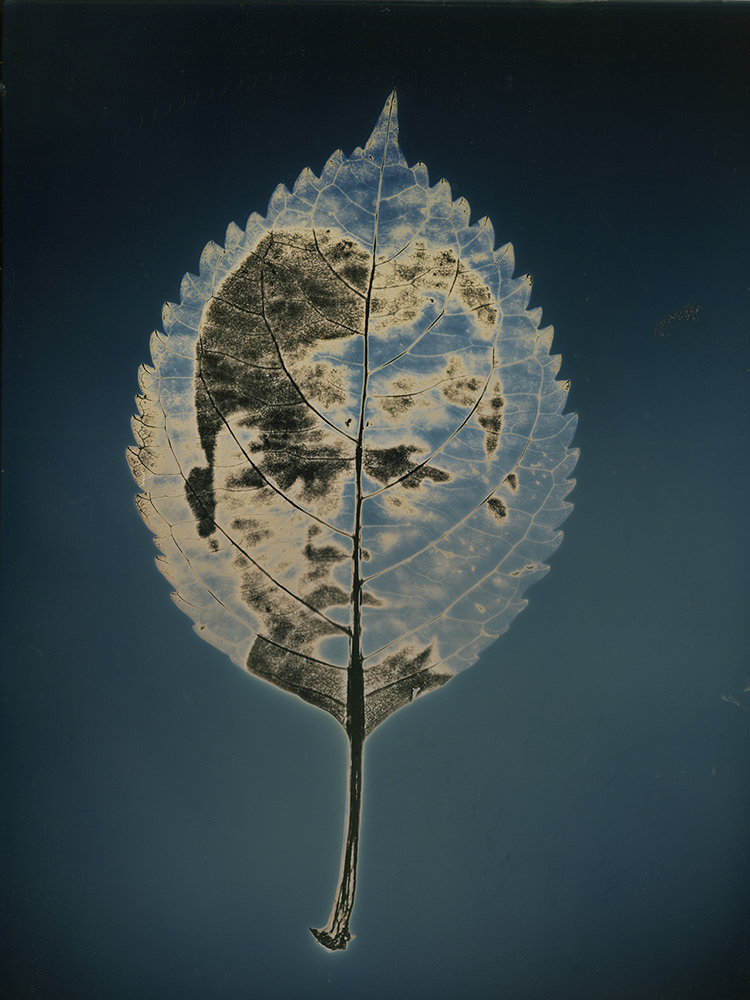 "Untitled #1, from the series, ""Aura of Botanical Specimen"""