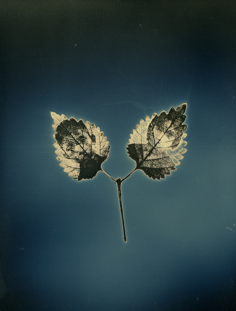 """Binh Danh - Untitled #11, from the series, """"Aura of Botanical Specimen"""" (SOLD), 2017, photogram on daguerreotype, 7 by 5 inches / 11.25 by 9.25 inches framed, unique"""