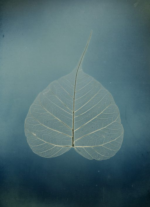 "Untitled #5, Bodhi leaf, from the series, ""Aura of Botanical Specimen"" (SOLD)"