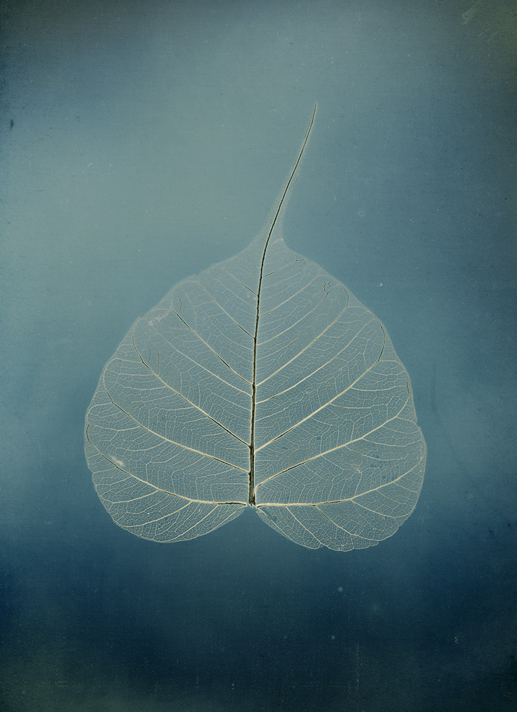 """Binh Danh - Untitled #5, Bodhi leaf, from the series, """"Aura of Botanical Specimen"""" (SOLD), 2017, photogram on daguerreotype, 7 by 5 inches / 11.25 by 9.25 inches framed, unique"""
