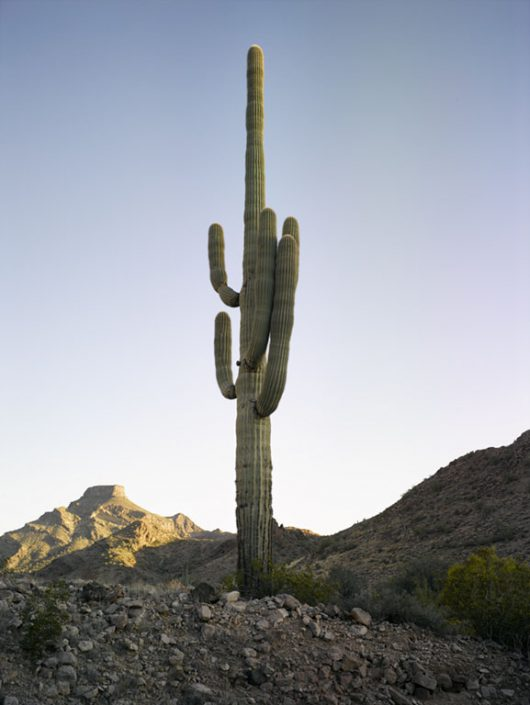 Mark Klett - Saguaro: Two Arms Left Near Hat Mountain Camp, 2016, inkjet print, Available in several sizes: 57 by 43 inches, 46.5 by 35 inches, 30.6 by 23 inches, and 6 by 4 inches