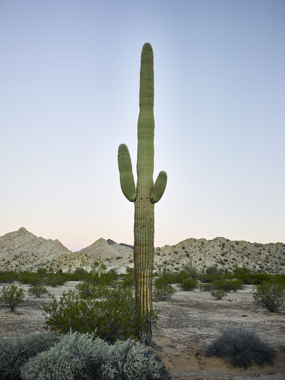 Mark Klett - Saguaro: Two Arms Rosy Horizon Predawn, 2016, inkjet print, Available in several sizes: 57 by 43 inches, 46.5 by 35 inches, 30.6 by 23 inches, and 6 by 4 inches