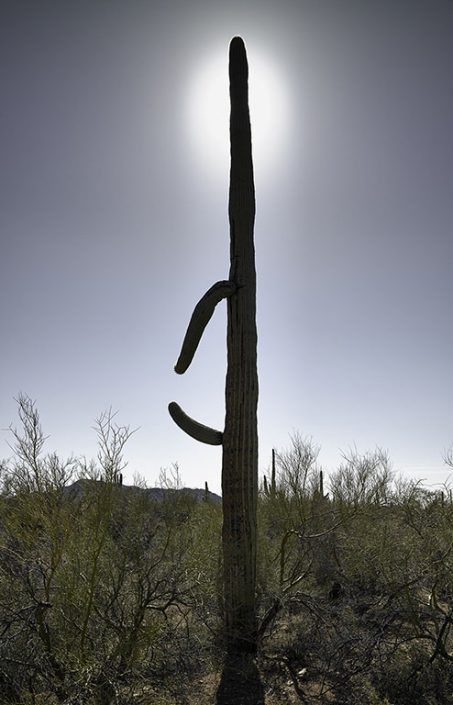 Saguaro with Halo