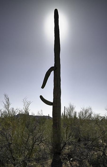 Saguaro with Halo