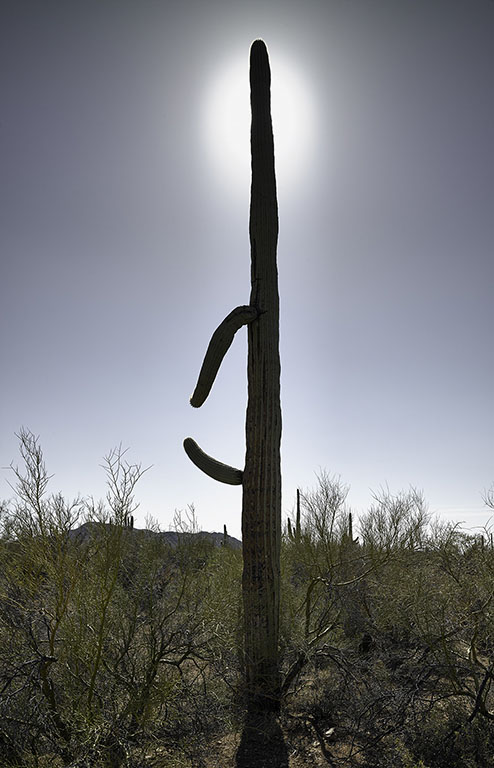 Mark Klett - Saguaro with Halo, 2016, inkjet print, Available in several sizes: 46.6 by 30 inches, 35 by 23 inches, and 6 by 4 inches