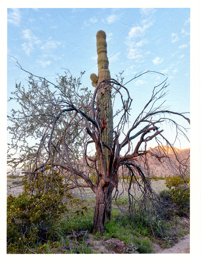 Mark Klett - Color Saguaros (Saguaro w ironwood in front), 2020, inkjet prints on Japanese tissue paper, 10.75 x 8.25 inches each