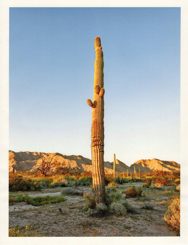Mark Klett - Color Saguaros (Saguaro Y light 3 small arms in trunk), 2020, inkjet prints on Japanese tissue paper, 10.75 x 8.25 inches each