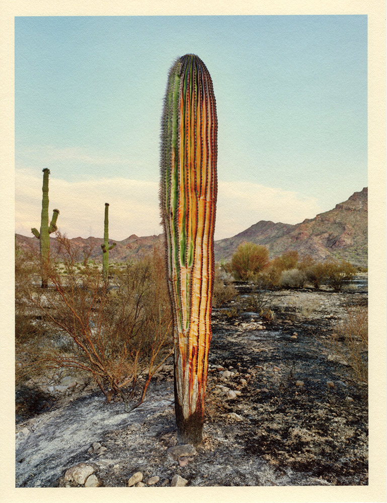 Mark Klett - Color Saguaros (Saguaro burned near Hat Mtn 5-20), 2020, inkjet prints on Japanese tissue paper, 10.75 x 8.25 inches each
