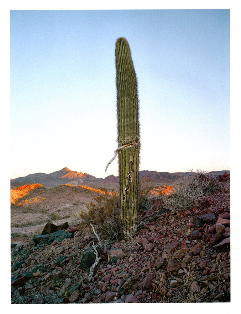 Mark Klett - Color Saguaros (Saguaro w wound), 2020, inkjet prints on Japanese tissue paper, 10.75 x 8.25 inches each