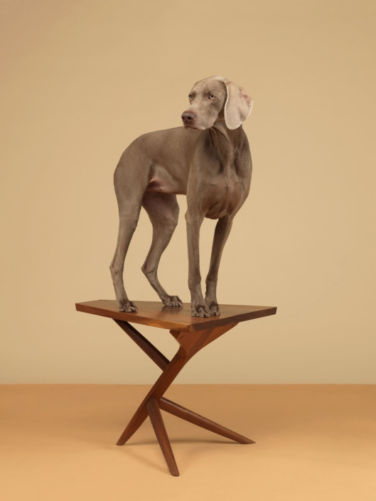 William Wegman - 7 Legs, 2015, pigment print, 30 by 23 inches or 44 by 34 inches