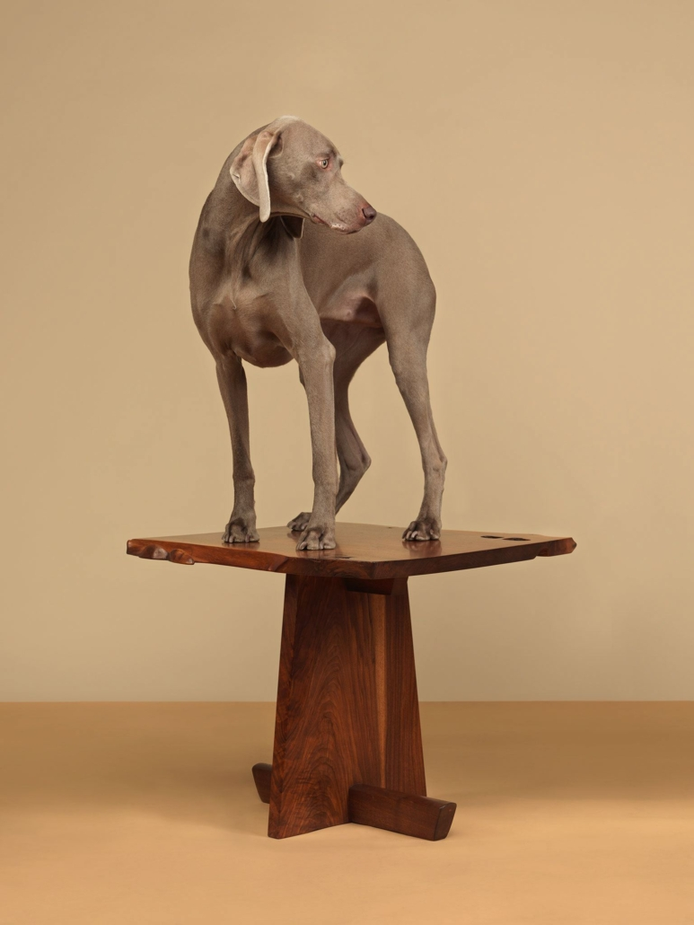 William Wegman - Tabled, 2015, pigment print, 30 by 23 inches or 44 by 34 inches
