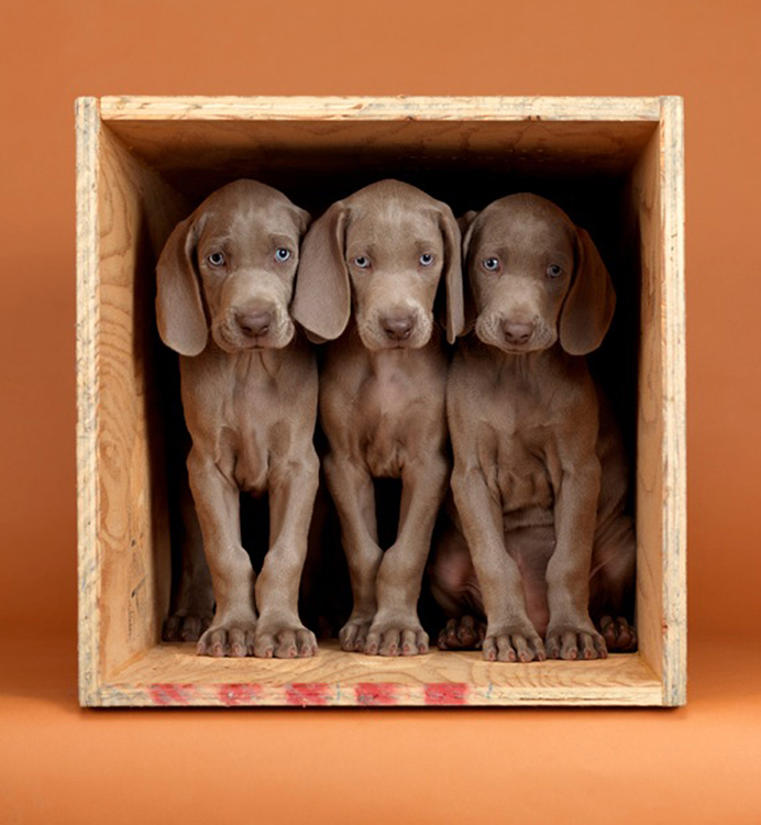 William Wegman - Count Three, 2010, pigment print, 14 by 11 inches