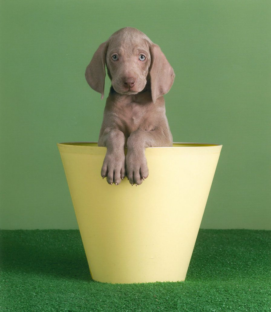 William Wegman - Crow's Nest, 2005, pigment print, 14 by 11 inches