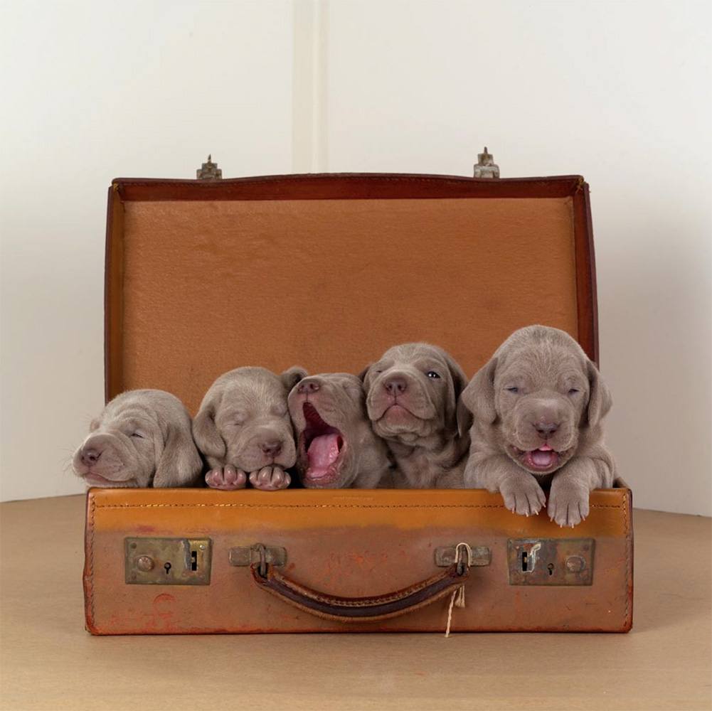 William Wegman - Hobos, 2004, pigment print, 14 by 11 inches