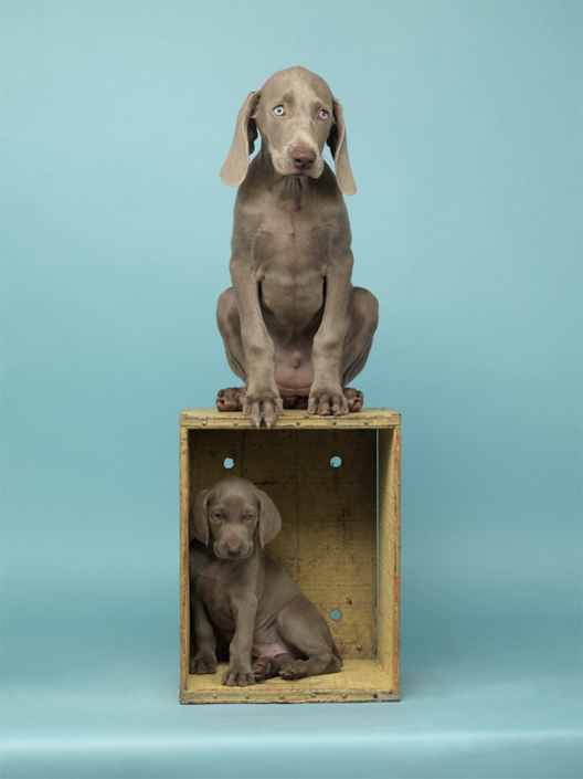 William Wegman - House and Home, 2011, pigment print, 14 by 11 inches