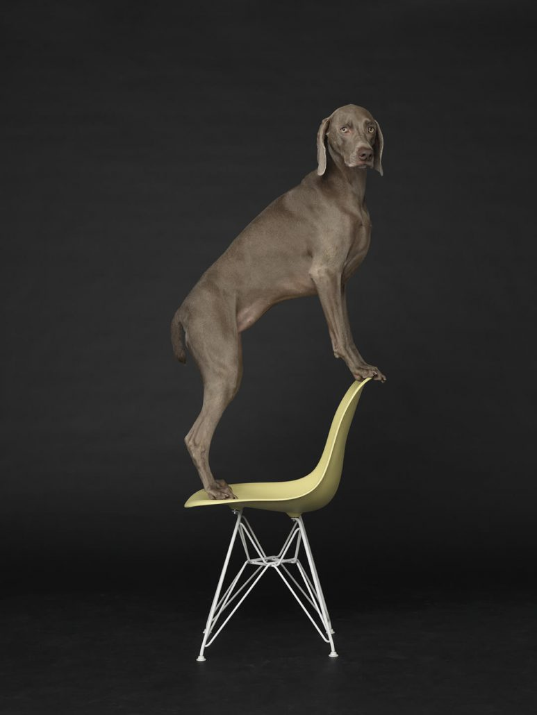 William Wegman - Low to High, 2015, pigment print, 30 by 24 inches or 44 by 34 inches