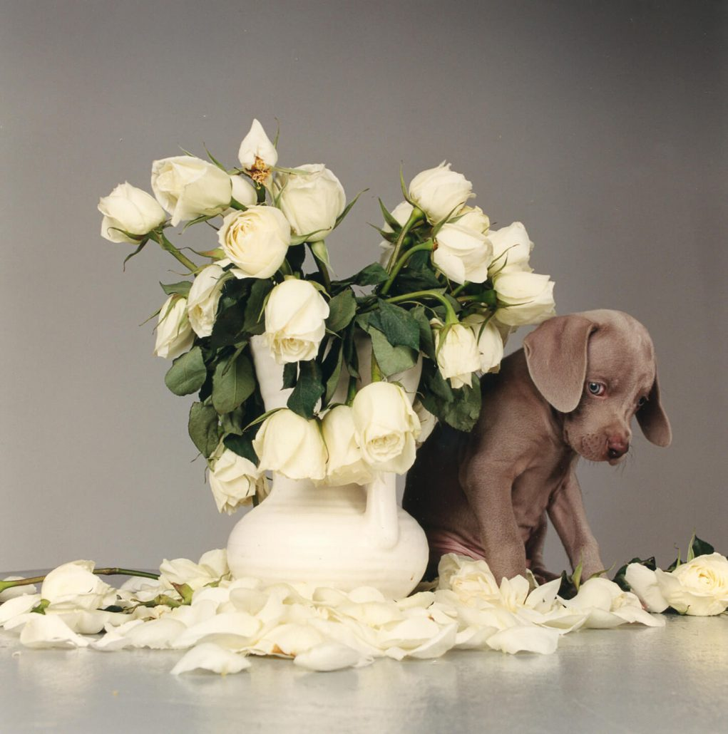 William Wegman - Riddles and Roses, 1999, chromogenic print, 14 by 11 inches