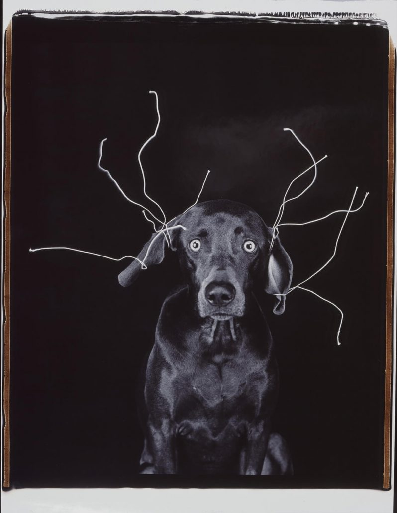 William Wegman - Wired, 2005, color polaroid, 24 by 20 inches