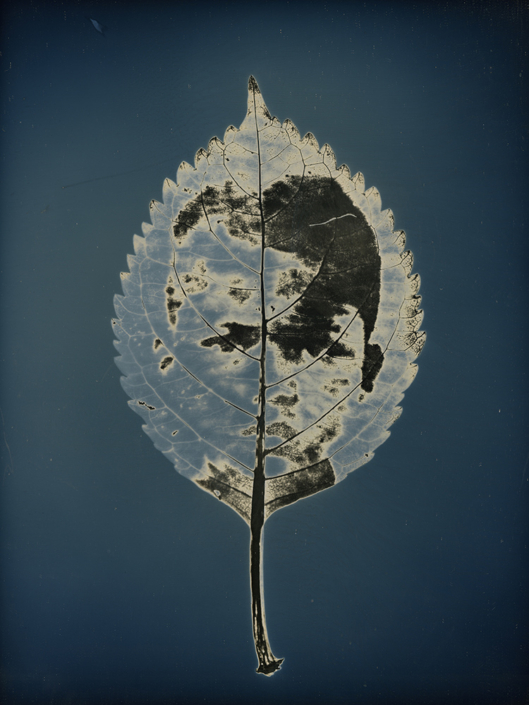"""Binh Danh - Untitled #15, from the series, """"Aura of Botanical Specimen"""", 2017, photogram on daguerreotype, 7 x 5 inches / 11 x 9 inches framed, unique"""