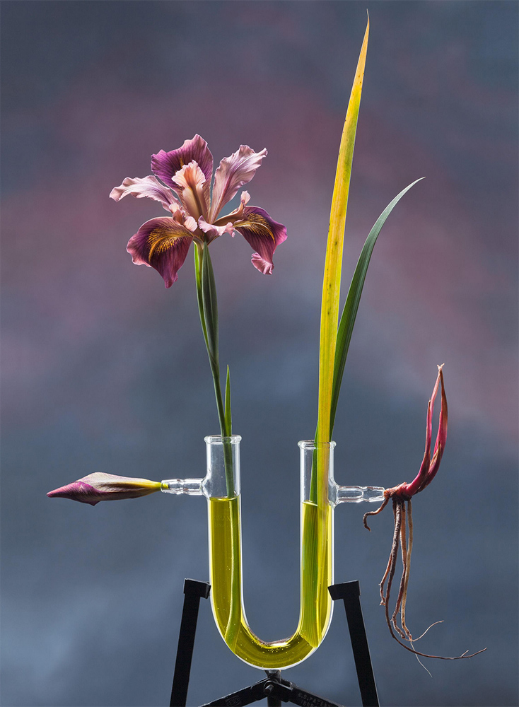 Jo Whaley - Iris ser. Californicae, 2012, archival pigment print, 24 by 20 inches, edition of 15